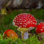 red-champignon