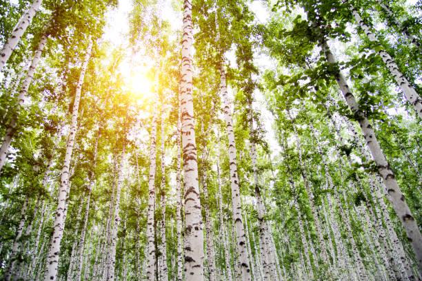 spring birch grove.